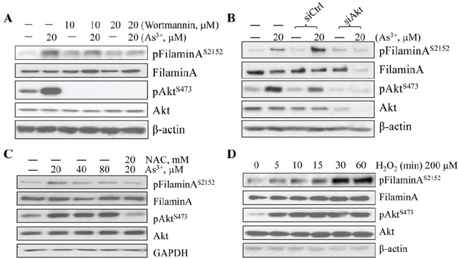 As3+-induced Akt activation and filamin A phosphorylation are ROS dependent.