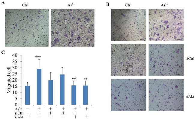 As3+-induced cell migration is Akt dependent.