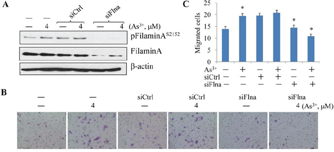 Silencing filamin A prevented As3+-induced cell migration.