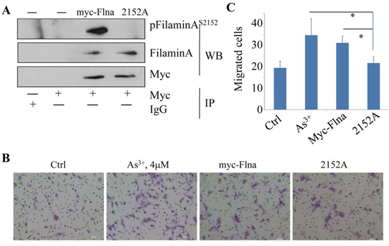 Phosphorylation of Filamin A on Ser2152 is required for As3+-induced cell migration.