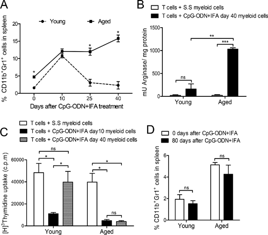 Myeloid suppressor cell expansion lasts longer in aged than in young mice after CpG-ODN+IFA treatment.