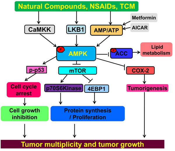 AMPK is a tumor suppressor for cancer prevention and treatment.
