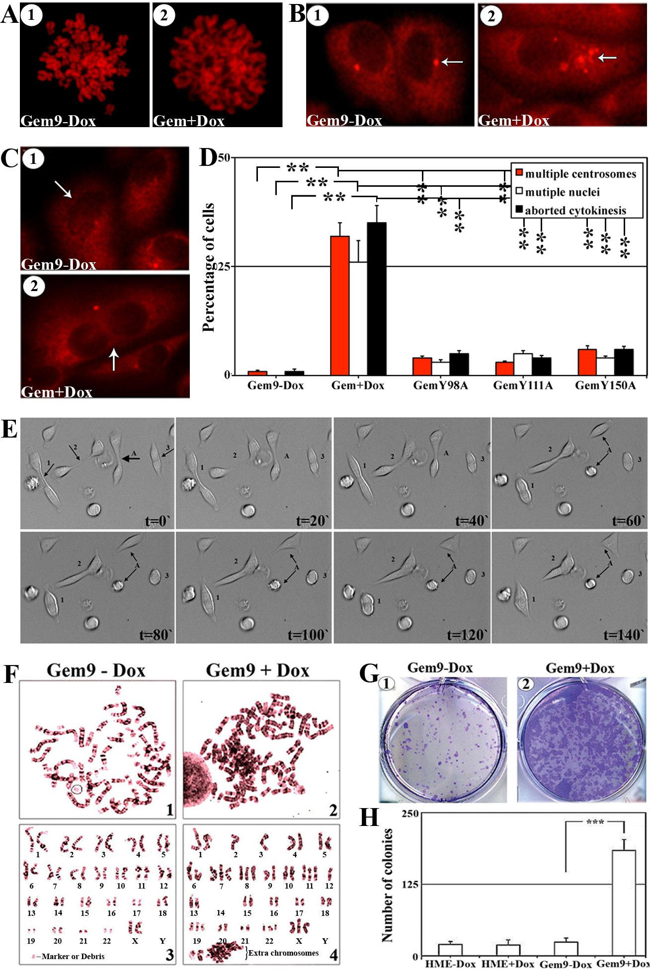 The effect of geminin overexpression on chromosome condensation, centrosome number, cytokinesis, ploidy and transformation in HME cells,
