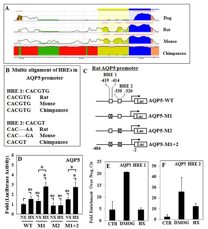 Functionality of conserved HREs in the promoter regions of the