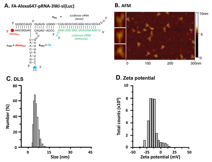 Construction and characterization of multi-functional pRNA-3WJ RNP for glioblastoma cell targeting.