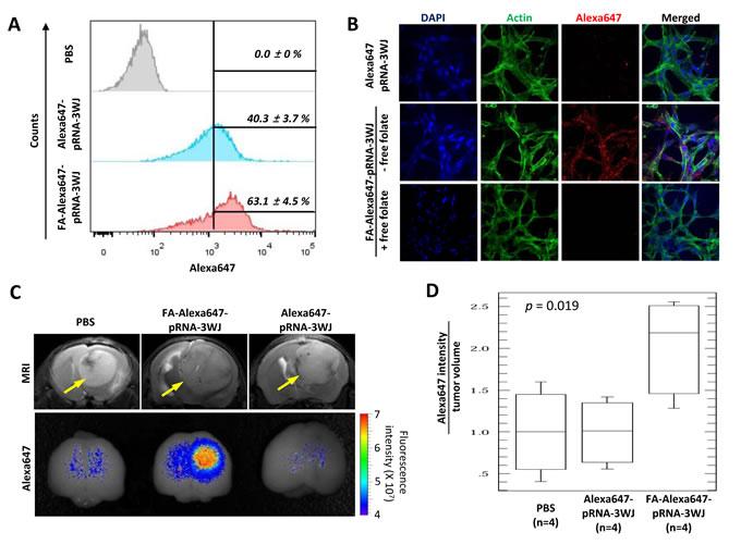 FA-mediated human glioblastoma cell targeting by FA-Alexa647-pRNA-3WJ RNP
