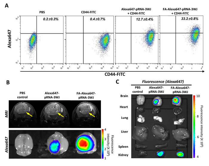 FA-mediated targeting of human glioblastoma patient-derived stem cell and derived brain tumor by FA-Alexa647-pRNA-3WJ RNPs in animal trials and biodistribution study.
