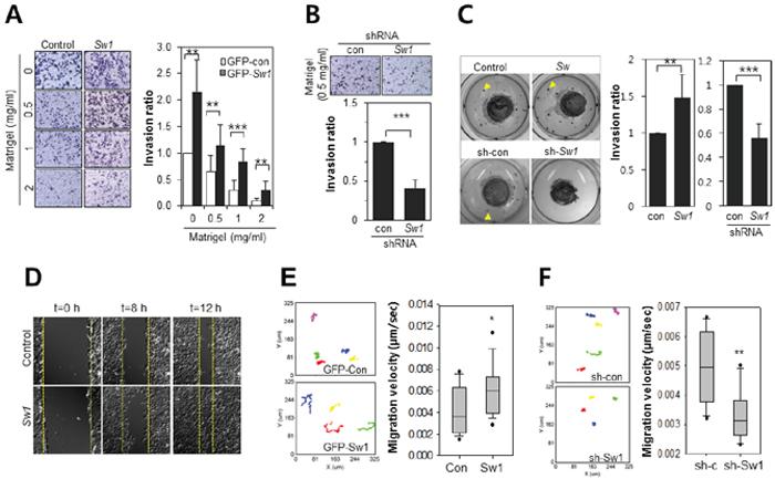 Swiprosin-1 enhances the invasion of B16F10 melanoma cells.