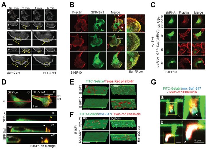 Swiprosin-1 induces the formation of motile protrusions associated with actin.
