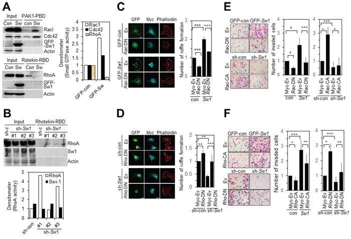 Swiprosin-1 regulates the invasion of B16F10 cells via modulating Rac1 and RhoA activities.