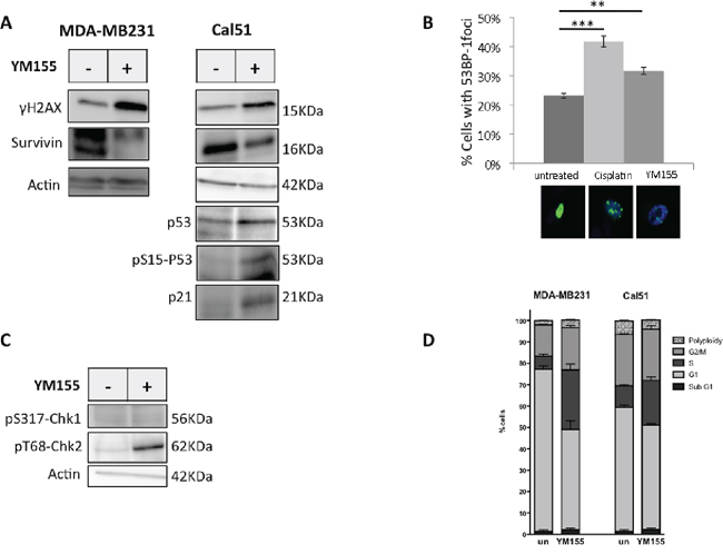 YM155 induces DNA damage and initiates DNA repair response.
