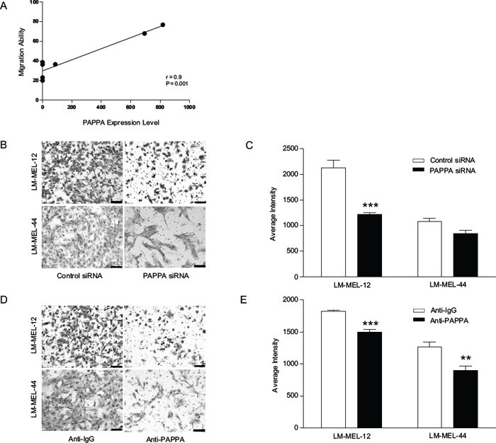 Ability of migration in melanoma positively correlates with PAPPA expression.