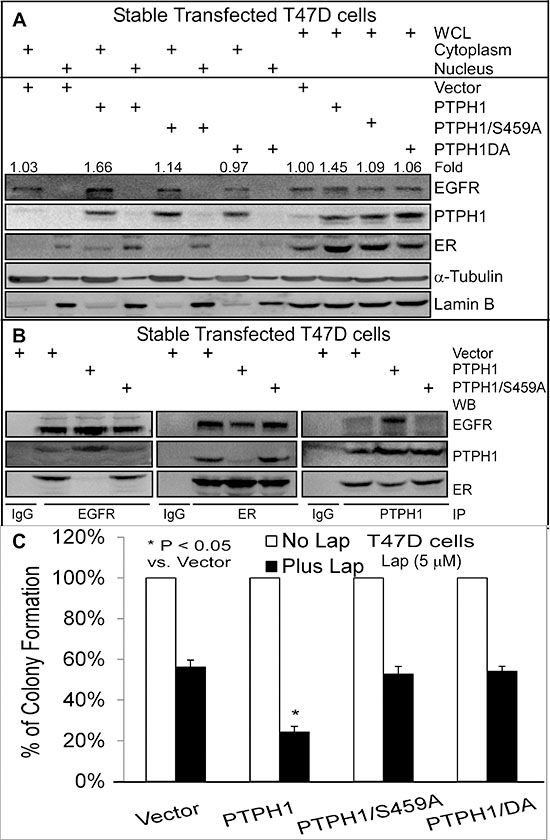 PTPH1 sensitizes breast cancer cells to Lap by disrupting the EGFR-ER interaction.