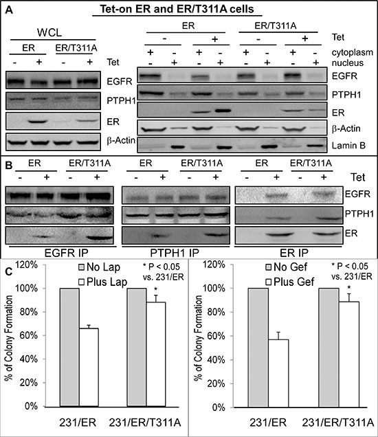 Increased ER-EGFR interaction couples with resistance to Lap-induced growth inhibition.