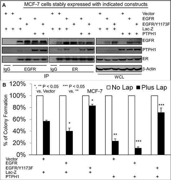 Y1173 is required for breast cancer sensitivity to Lap, for EGFR interaction with endogenous PTPH1, and for PTPH1-induced sensitization.