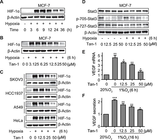 Tanshinone-1 (Tan-1) reduces the levels of HIF-1α and p-705-Stat3 and decreases the mRNA level and protein secretion of VEGF in hypoxic tumor cells.
