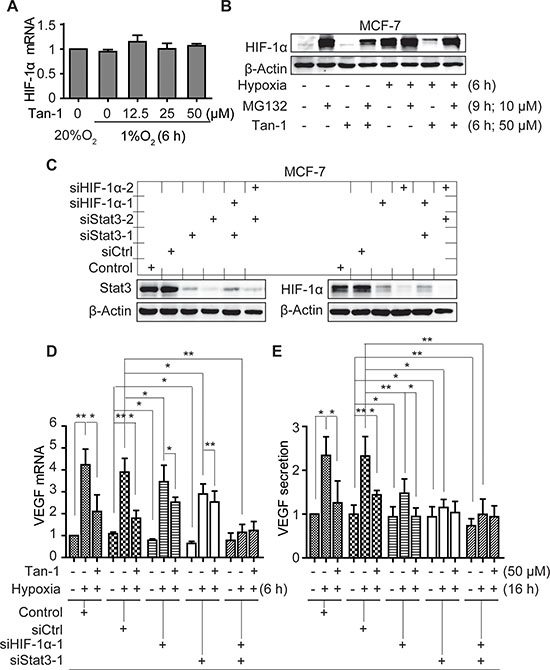 Downregulation of HIF-1α and Stat3 alleviates the reduction of VEGF mRNA and protein secretion induced by tanshinone-1 (Tan-1) in hypoxic MCF-7 cells.