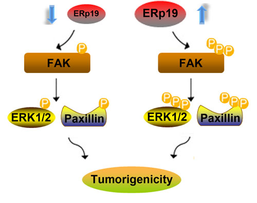 A hypothetical schematic of the contribution of ERp19 to GC cells via activation of the FAK/paxillin and ERK1/2 pathways.