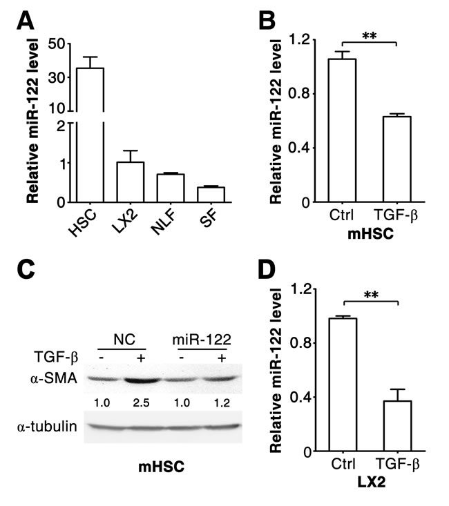 miR-122 decreases in the TGF-β-stimulated HSCs.