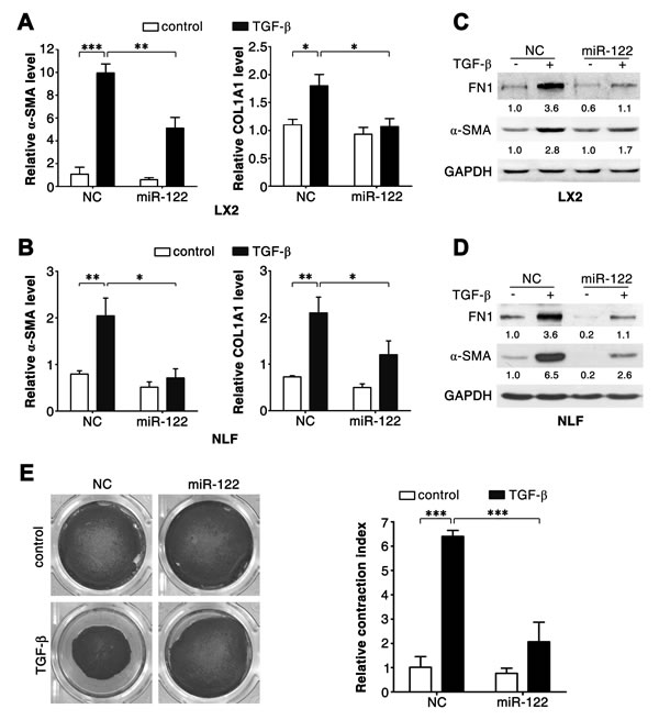 miR-122 inhibits the TGF-β-induced expression of fibrosis-related genes.