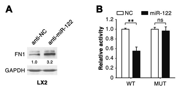 miR-122 suppresses FN1 expression by binding to its 3'UTR.