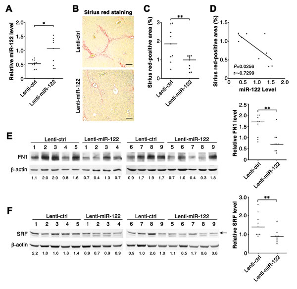 Reintroduction of miR-122 ameliorates hepatic fibrosis in CCl