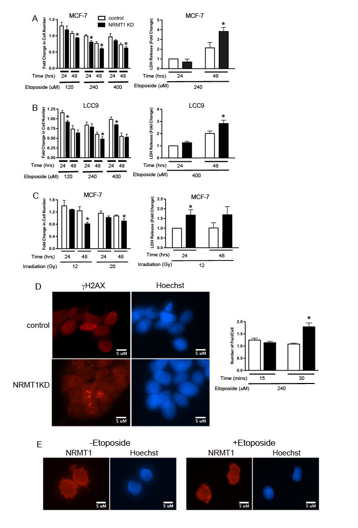 NRMT1 loss promotes sensitivity to double-strand DNA breaks.