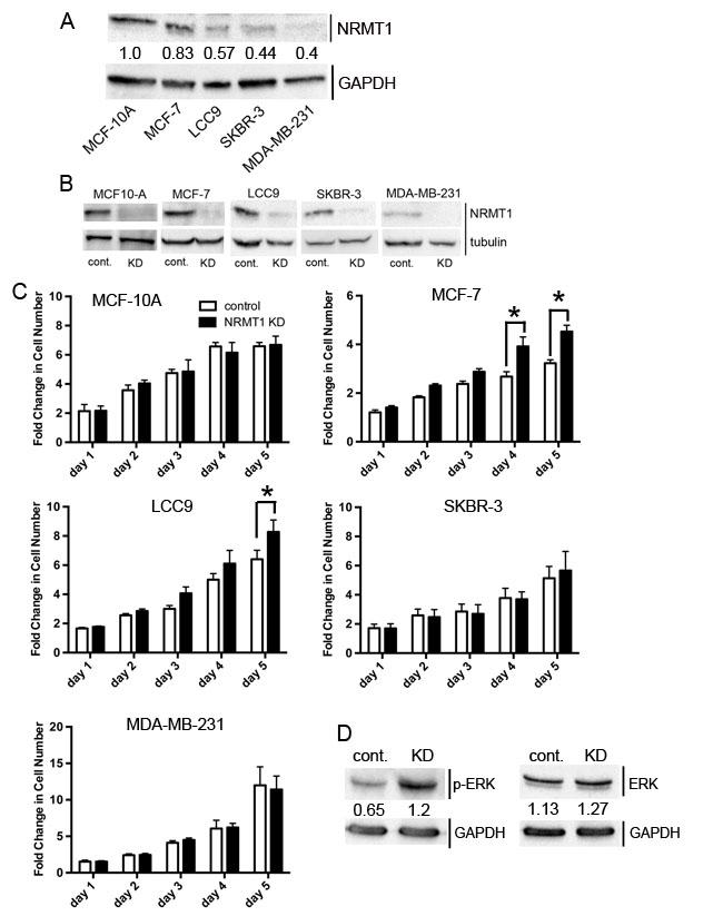 NRMT1 knockdown promotes growth of ER positive breast cancer cell lines.