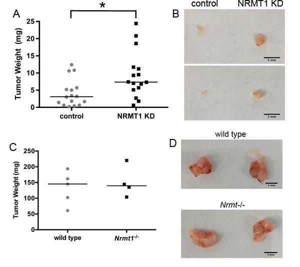 Cell autonomous NRMT1 depletion increases tumor growth