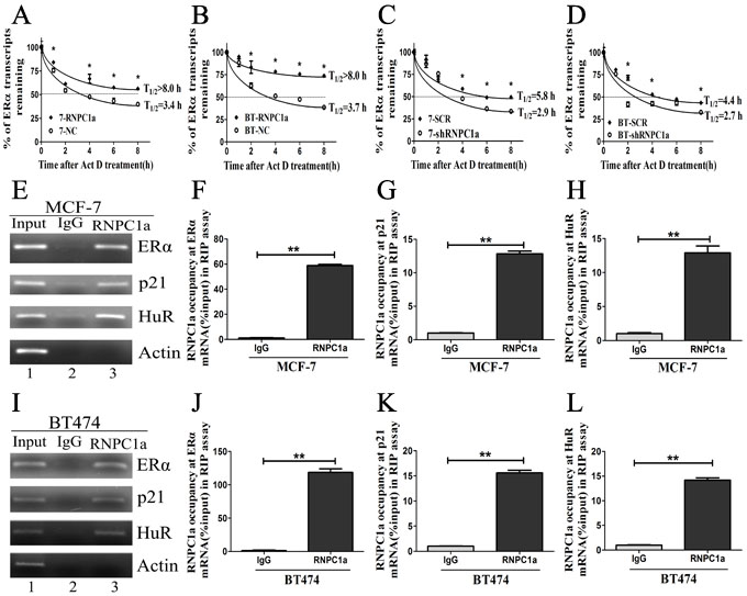 RNPC1 could bind to ERα transcript and enhance its stability.