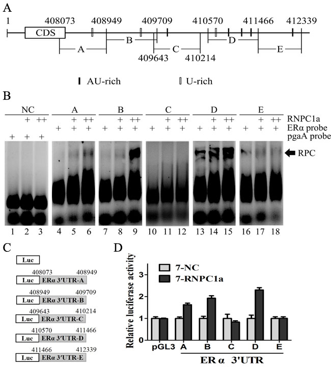 Multiple regions in the ERα 3'UTR were bound by RNPC1 and responsive to RNPC1.