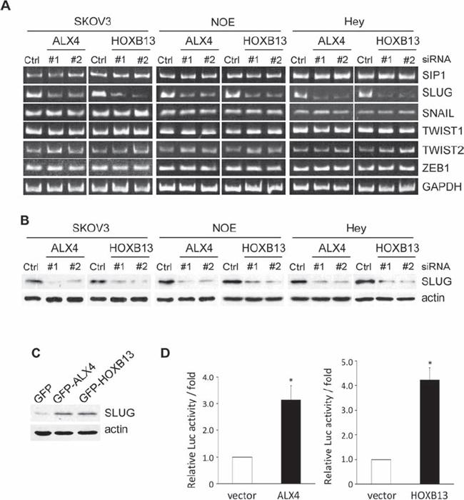 ALX4 and HOXB13 induce SLUG expression.