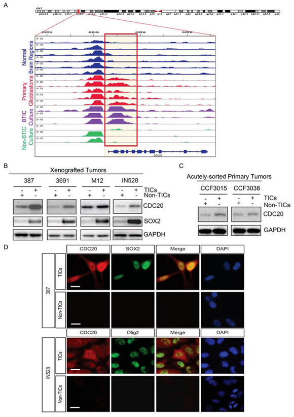 CDC20 is highly expressed in tumor initiating cells (TICs).