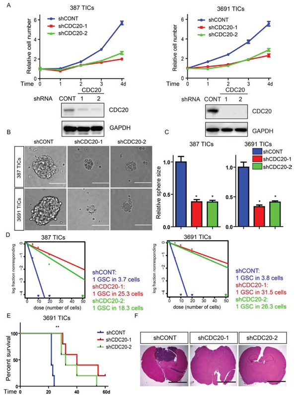 Targeting CDC20 by RNA interference decreases TICs growth, self-renewal, and tumor formation.
