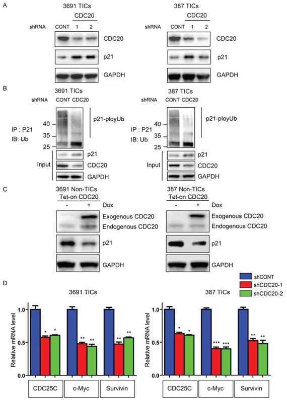 CDC20 negatively regulates p21WAF1/CIP1 in TICs.