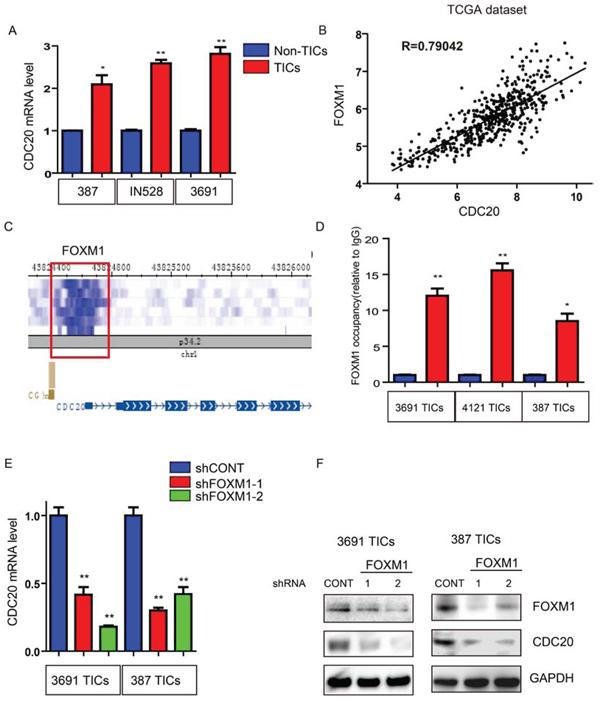 Transcription factor FOXM1 upregulates CDC20 expression in TICs.