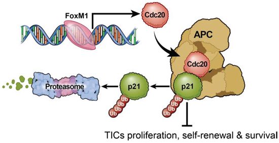 Proposed model of CDC20 function in tumor initiating cells.