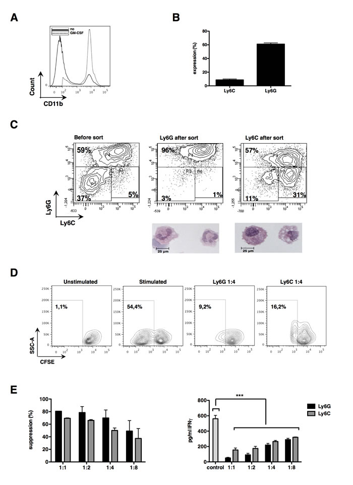 Differentiated bone marrow cells possess strong suppressive capacities and can be subdivided into both MDSC subsets.