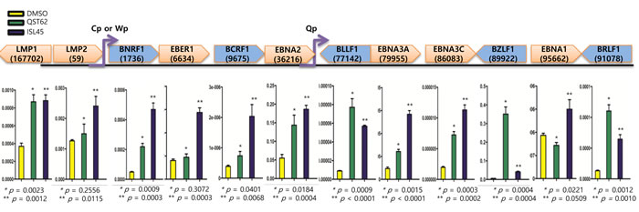 Effects of quercetin or isoliquiritigenin on EBV latent and lytic transcription.