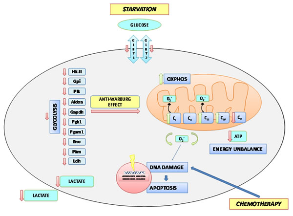 A Model of Short term starvation effects on the metabolism of the tumor cell.
