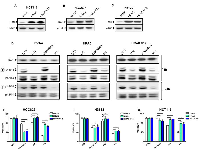 Overexpressed HRAS and HRAS V12 prohibit TKI activity potentiation through starvation.