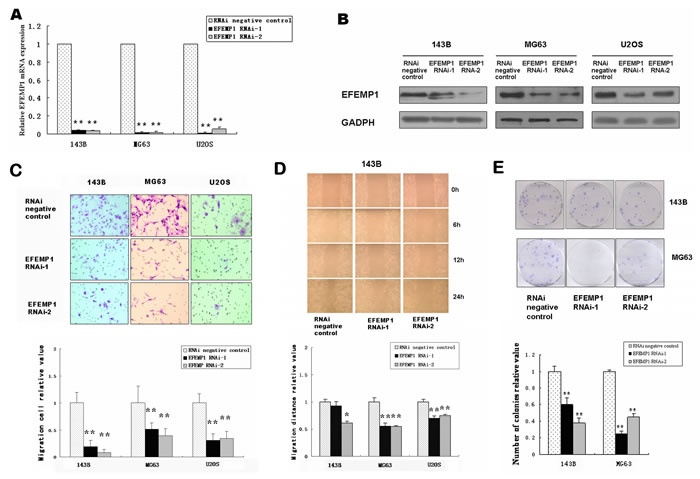 Downregulation of EFEMP1 in osteosarcoma cell lines suppressed migration, invasion and colony formation