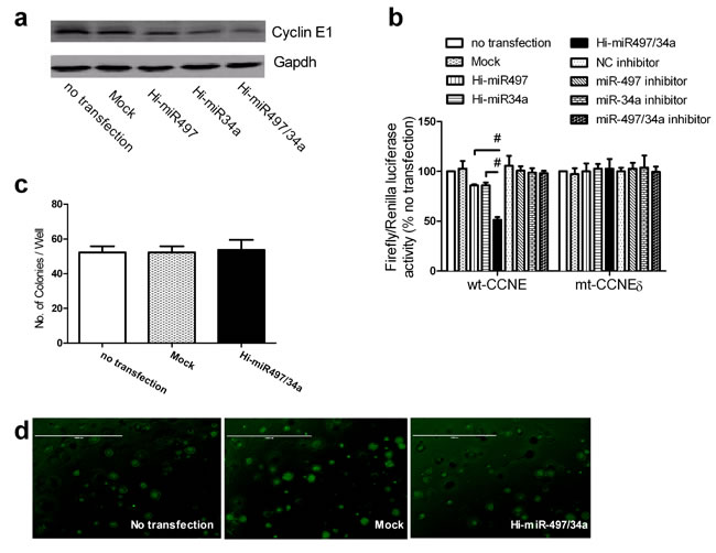 miR-497 and miR-34a act synergistically by cotargeting CCNE1.