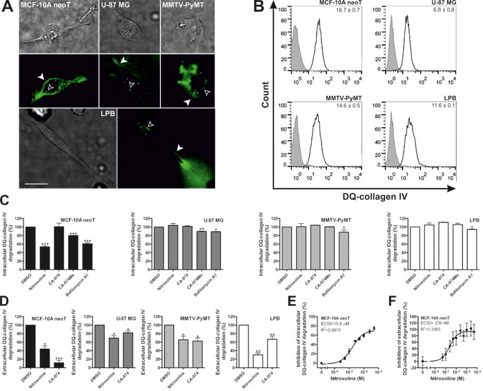Nitroxoline impairs DQ-collagen IV degradation in transformed and tumor cells.