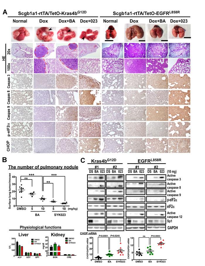 SYK023 activates caspase cascade and induces ER stress