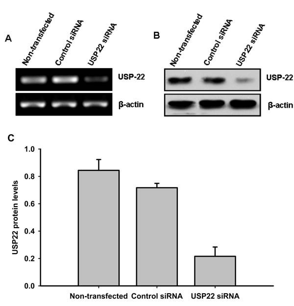 siRNA silencing of USP22.
