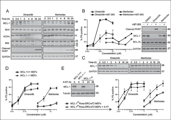 Dinaciclib and maritoclax diminish MCL-1 expression levels and induce MCL-1-dependent apoptosis in a cell-type specific manner.