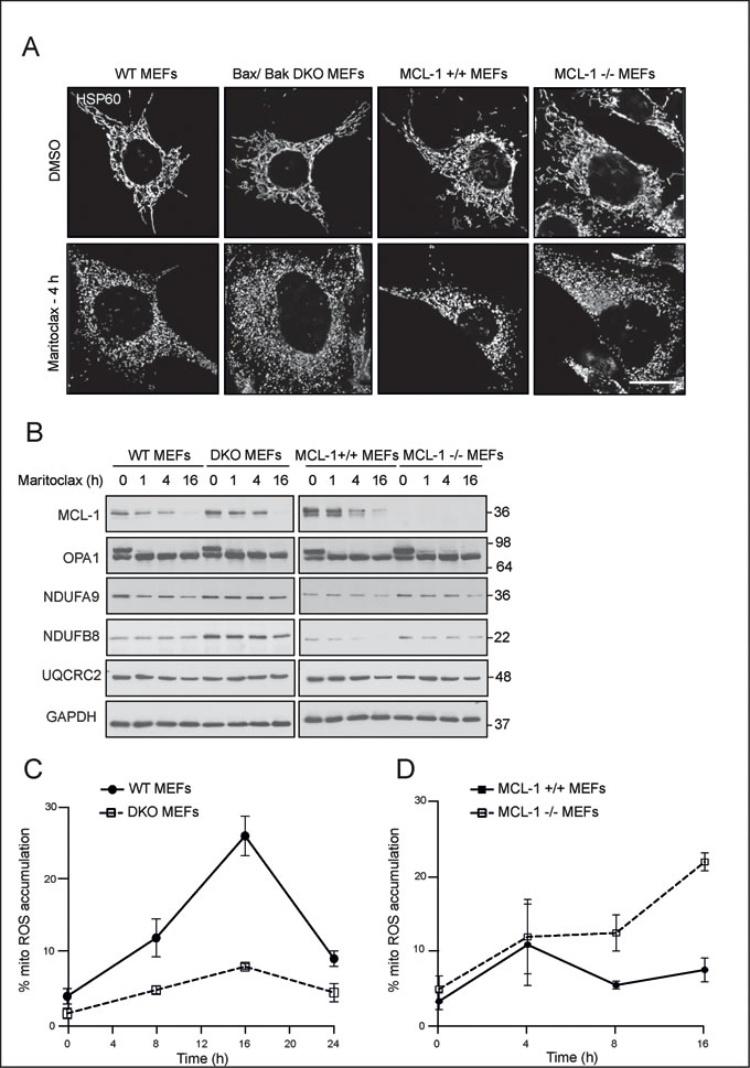 Maritoclax-mediated mitochondrial effects occur independent of Bax/Bak- and MCL-1.
