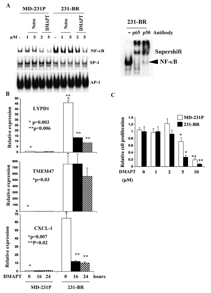 Elevated NF-κB activity in 231-BR cells compared with parental cells.