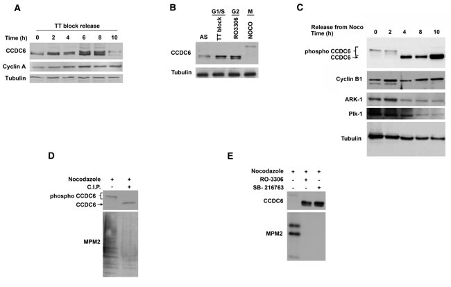 CCDC6 protein levels are regulated through the cell cycle.